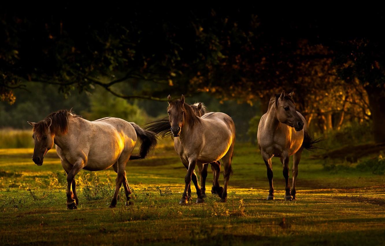 Фото обои свет, природа, кони, утро