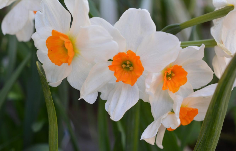 Фото обои Белые, White, Нарцисс