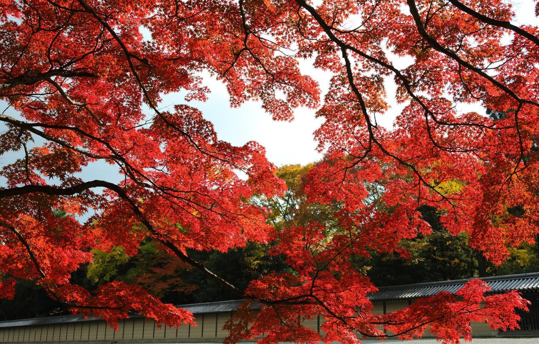 Фото обои осень, листья, деревья, парк, Япония, сад, красные, клен, Киото