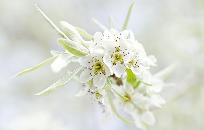 Фото обои листья, макро, цветы, природа, дерево, ветка, весна, лепестки, белые, цветение