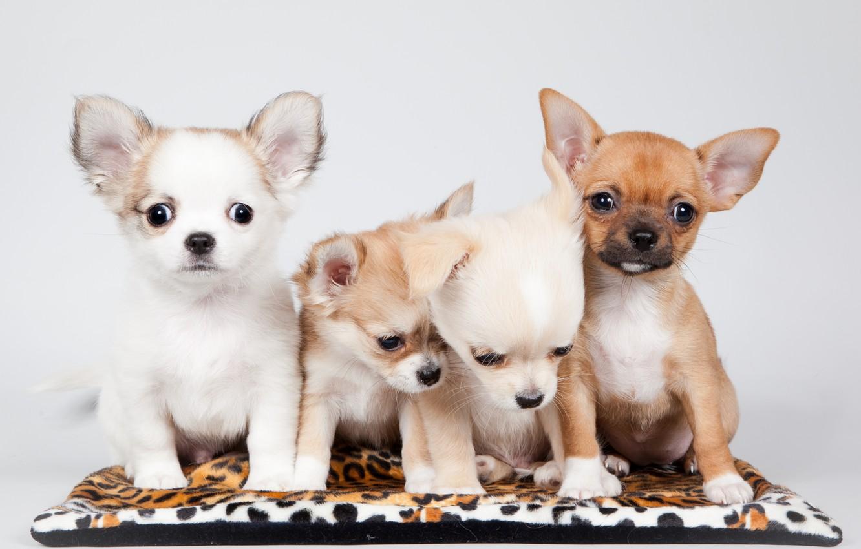 Фото обои щенки, малыши, чихуахуа, квартет