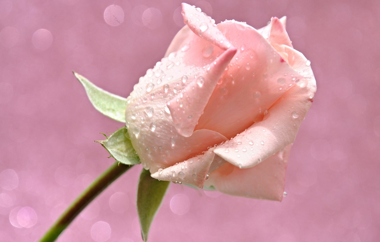 Фото обои цветок, вода, капли, свет, роса, роза, лепестки, бутон, блик