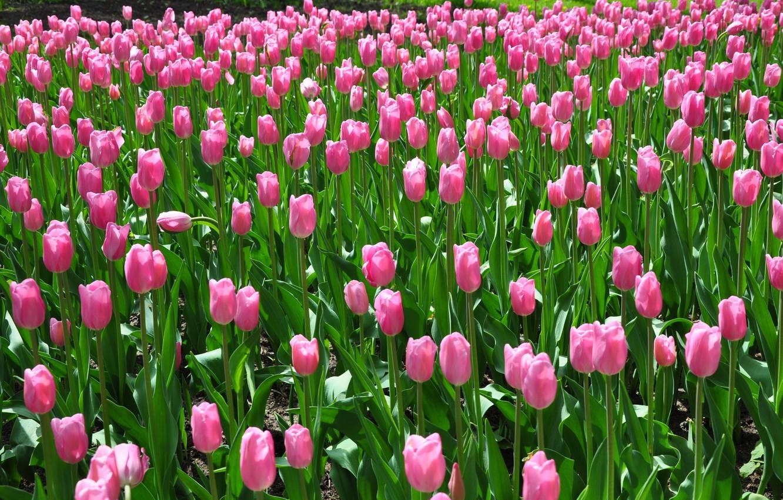 подлецы картинки на рабочий стол весенние тюльпаны представить