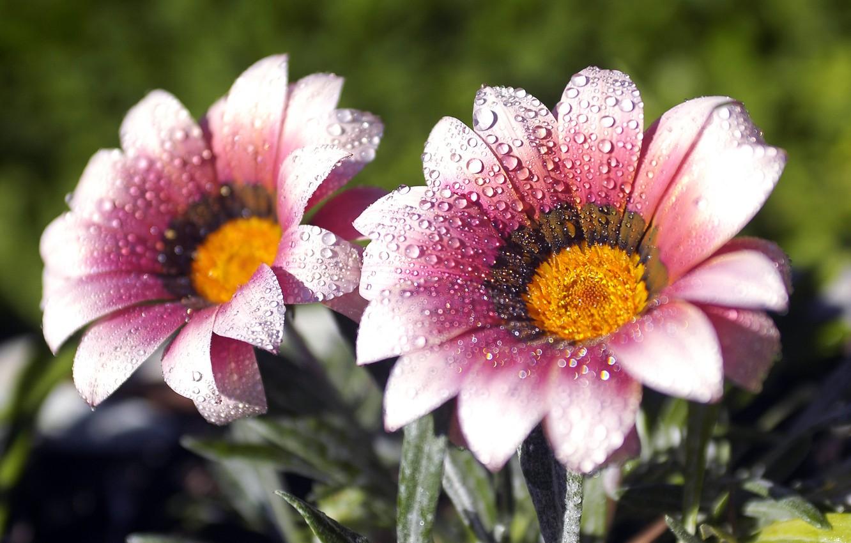 Фото обои макро, цветы, капельки, роса