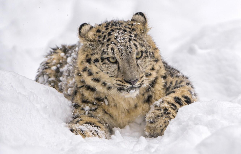 Обои лежит, на снегу, Хищник. Животные foto 7