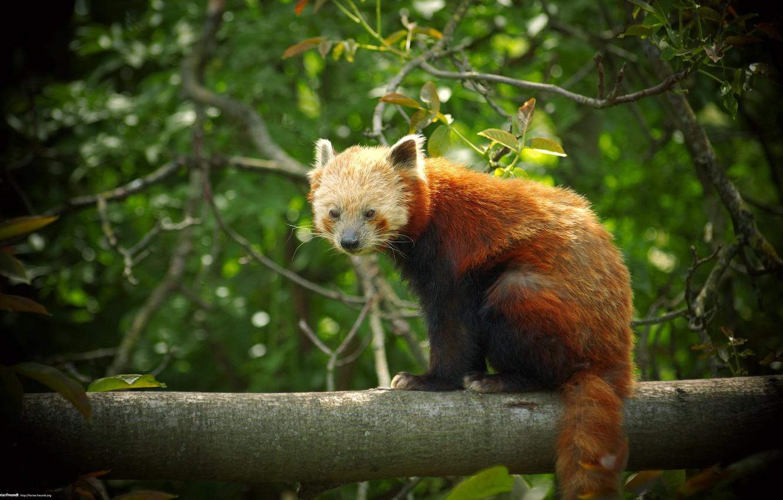 Фото обои панда, рыжая, firefox