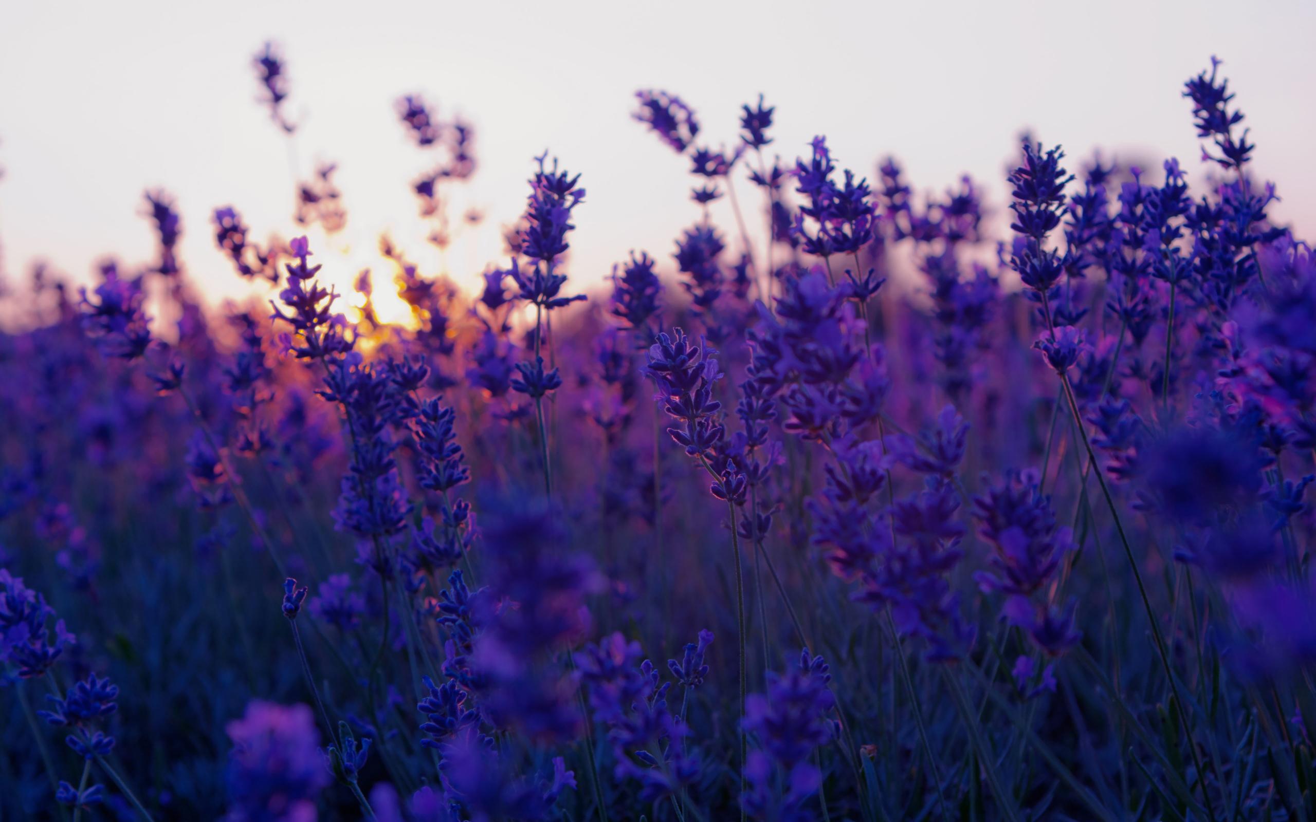 lavender background wallpaper - HD1680×1050