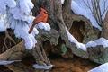 Картинка снег, зима, кардинал, живопись, дерево, Jerry Gadamus, птица, The Witness Tree