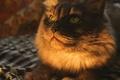 Картинка кошка, взгляд, хищник, ушки, носик