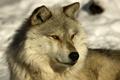 Картинка timber, wolf, лайка