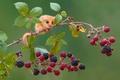 Картинка ягоды, ветка, мышка