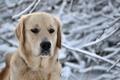 Картинка голова, собака, снег, природа, ретривер, зима, морда, пес, порода, снежинки, нос, глаза, лес