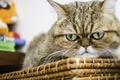 Картинка Экзотическая короткошёрстная кошка, экзот, кот, морда