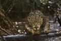 Картинка ягуар, хищник, Амазония, (фильм), Amazonia