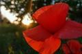 Картинка небо, солнце, макро, лучи, свет, деревья, закат, цветы, природа, фото, настроение, мак, лето. день