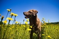 Картинка собака, лето, цветы