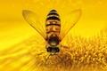 Картинка насекомое, пчеловидная муха, цветок, природа