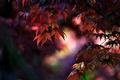 Картинка листья, природа, дерево, клен