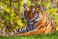 Картинка язык, трава, Тигр