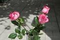 Картинка ваза, цветы, розовый цвет, розы