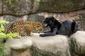 Картинка хищники, чёрный ягуар, грация, пантера, дикие кошки, пара, зоопарк, оскал, ягуары