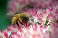 Картинка Пчела, розовый, цветок