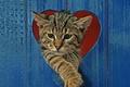 Картинка красный, серый, обои от lolita777, полосатый, сердце, забор, кошки, забавно, синий, кот