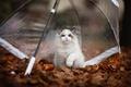 Картинка осень, кошка, листья, поза, котенок, листва, зонт, пушистый, мордашка, сидит, лапочка, голубоглазый, лапка