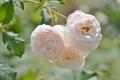 Картинка бежевый, макро, розы