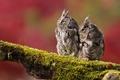 Картинка птицы, ветка, совы, две, фон, мох
