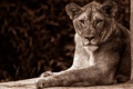 Картинка монохром, лев, львица, кошки, сепия, дикие кошки, морда, фон, портрет, царица, взгляд, лежит, поза