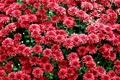 Картинка цветы, куст, красные, хризантемы
