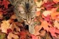 Картинка кошка, листва, осень