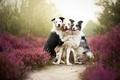 Картинка друзья, border collies, собаки
