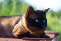 Картинка кот, трава, солнце, зеленоглазый, мордочка, сиамский, фон, лежит, кошка