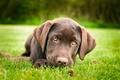 Картинка трава, собака, щенок, коричневый, лабрадор ретривер, лапка