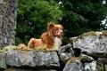Картинка собака, ретривер, природа