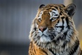 Картинка портрет, тигр, красавец, морда, Амурский тигр