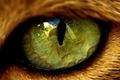Картинка животное, зеленый, отражение, глаз, контур, рыжий, зрачок, око, шерсть, лиса