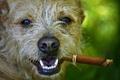 Картинка взгляд, морда, собака, нос, сигара
