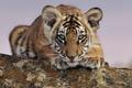Картинка животные, тигр, смотрит, тигренок