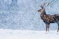 Картинка Англия, Дербишир, снег, благородный олень, зима
