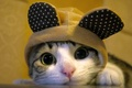 Картинка кошка, мордочка, шапка, кот