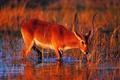 Картинка водопой, самец, Африка, закат, Красный личи (Kobus leche leche)