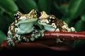 Картинка бордо, лист, зеленый, зелень, лягушки, обнимаются, сидят