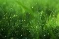 Картинка роса, трава, зелень, капли