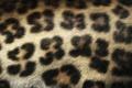 Картинка Леопард, шерсть, пятна