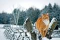 Картинка кошка, снег, природа, зима, деревья, рыжий, забор, кот