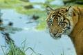 Картинка тигренок, портрет, хищник, тигр, взгляд