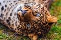 Картинка леопард, пятнистый, лежит, морда, смотрит, обои, красивый, leopard, panthera pardus